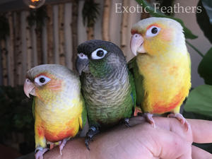 Hand reared yellow sided conures for sale silly tame 12 weeks old