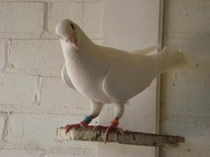 WHITE BUSSCHAERT YOUNG BIRDS FOR SALE | Birdtrader