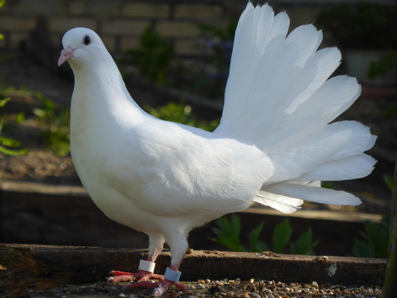 Doves For Sale >> Fantail Doves For Sale In Mid Suffolk Birdtrader