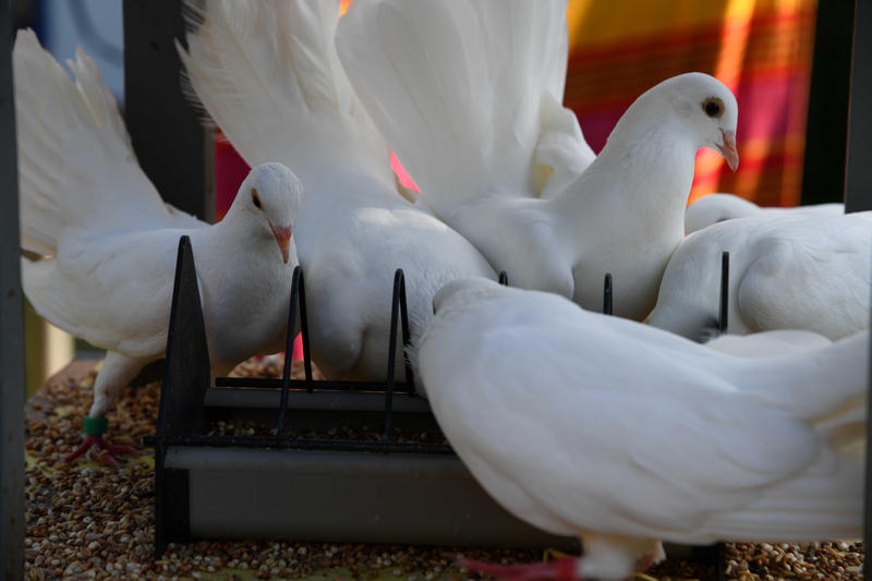 Doves For Sale >> Fantail Doves For Sale In Mid Suffolk Reduced Birdtrader