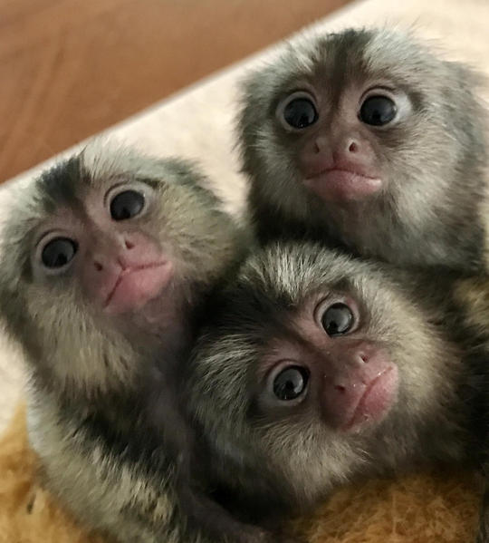 HOME TRAINED BABIES MALES AND FEMALES MARMOSET MONKEYS FOR
