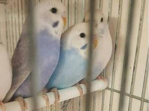 baby budgies for sale   Birdtrader