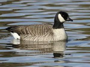 canada goose eggs for sale uk