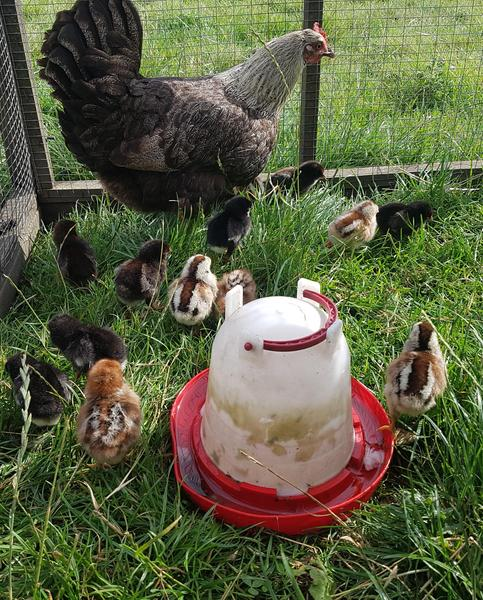 Old English Game Hen & 15 Chicks