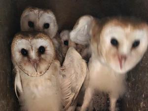 Owls for sale | Birdtrader