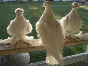 White Pigeons For Sale   Birdtrader