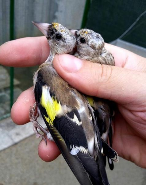 baby goldfinches for sale | Birdtrader