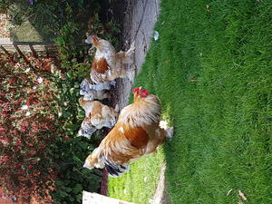 Pair Poultry For Sale In Essex Birdtrader