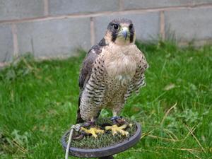 Birds of Prey - Kestrel, Sparrowhawk, Golden & Bald Eagle ...
