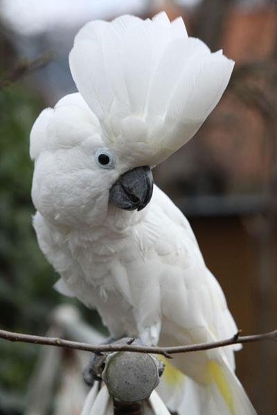 Umbrella Cockatoo for sale | Birdtrader