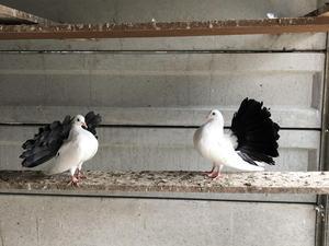Pigeons for sale | Birdtrader