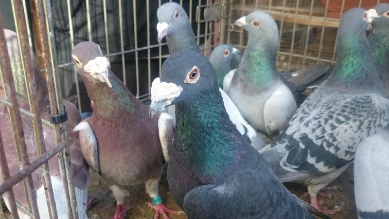 Top shelf racing pigeons for sale   Birdtrader