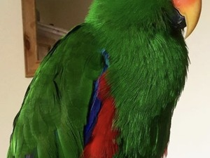 Hand raised super friendly Solomon Island Eclectus parrot