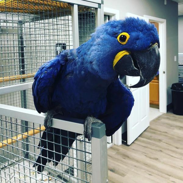 Hyacinth Macaw for sale | Birdtrader