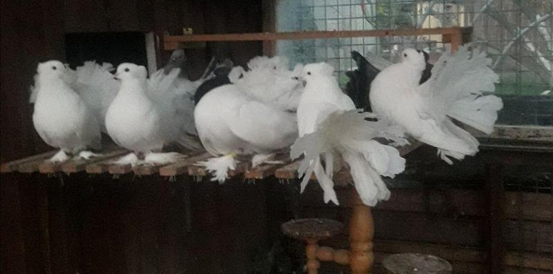 Indian Fantails for sale | Birdtrader