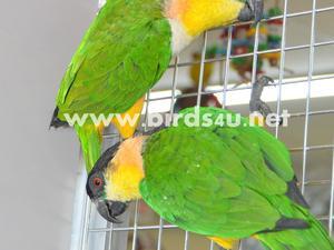Black Headed Caique Breeding Pair   Birdtrader