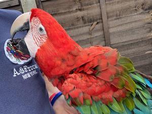 Macaws for sale in Stevenage | Birdtrader