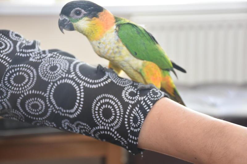 hand reared black headed caique for sale | Birdtrader