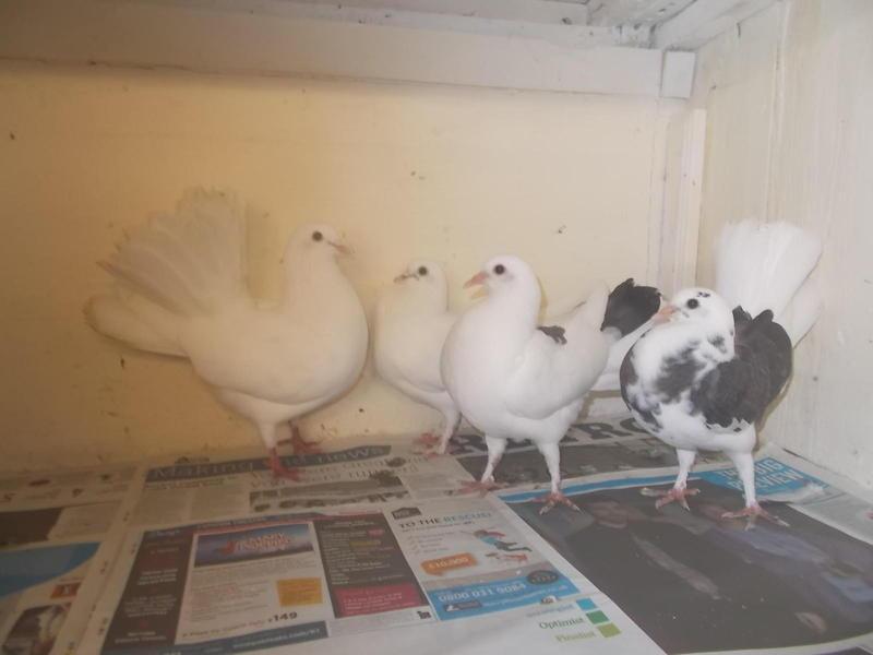 FANTAILS FOR SALE | Birdtrader