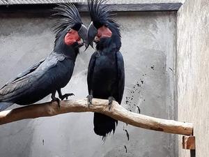 Cockatoos for sale | Birdtrader