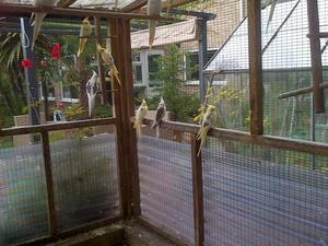 Cockatiels for sale | Birdtrader