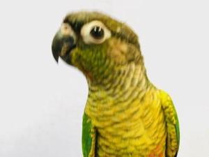 Conures for sale | Birdtrader