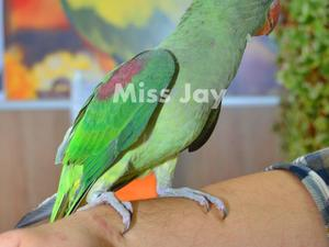 Parakeets for sale | Birdtrader