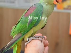Parrots for sale | Birdtrader