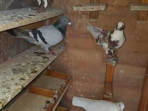White homing pigeons ( dove release business) | Birdtrader