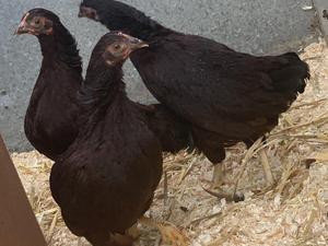 Chickens for sale   Birdtrader