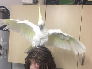 Male Cockatoos for sale | Birdtrader