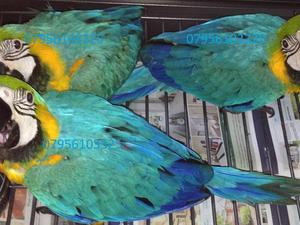 Macaws for sale | Birdtrader