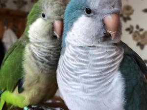 alexandrine breeding pair   Birdtrader