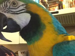 Macaws for sale in North | Birdtrader