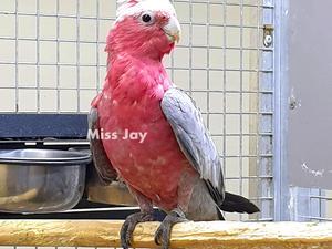Cockatoos for sale   Birdtrader