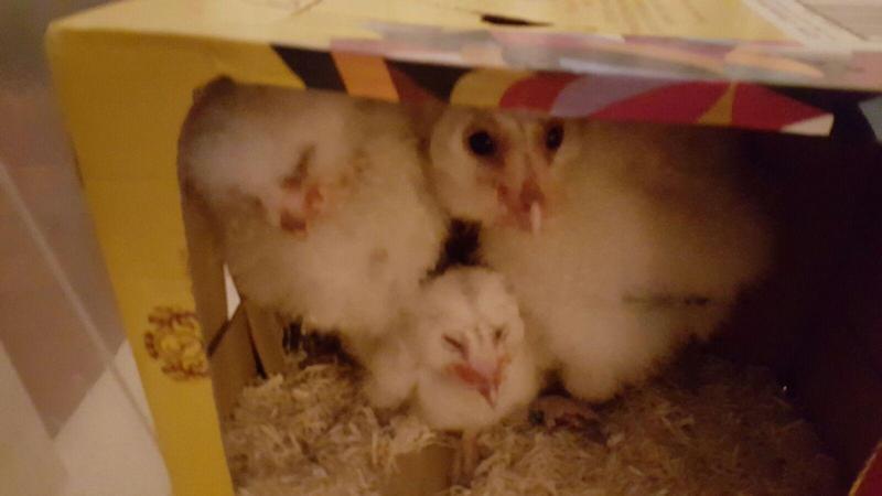 Baby Barn Owls for sale | Birdtrader