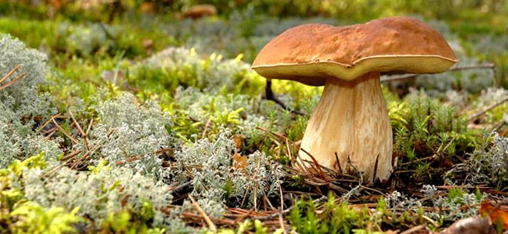 Les champignons jouent des multiples rôles pour l ...