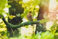L'if de Gerberoy sacré plus bel arbre de l'année