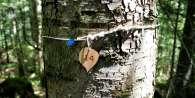 Les ormes de Sully pour alimenter en bois les constructions et la marine