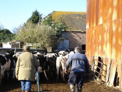 Dairy Farming in Dorset
