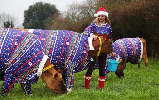 Cows in Christmas jumpers!