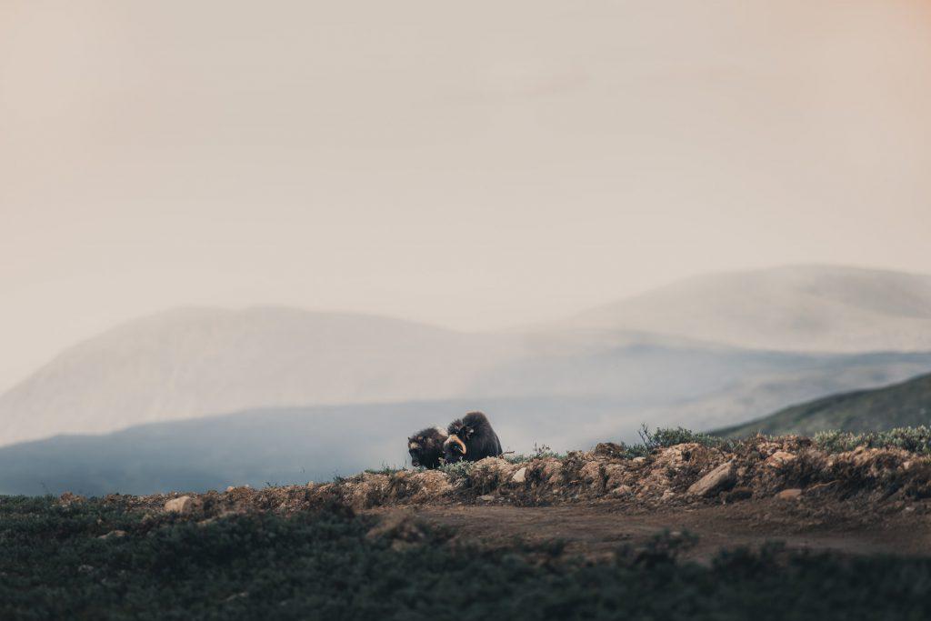 Zwei Moschusochsen aufgenommen von Alessandro Sgro