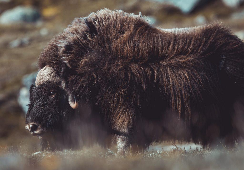 Ein Moschusochse aufgenommen von Wildlifefotograf Alessandro Sgro