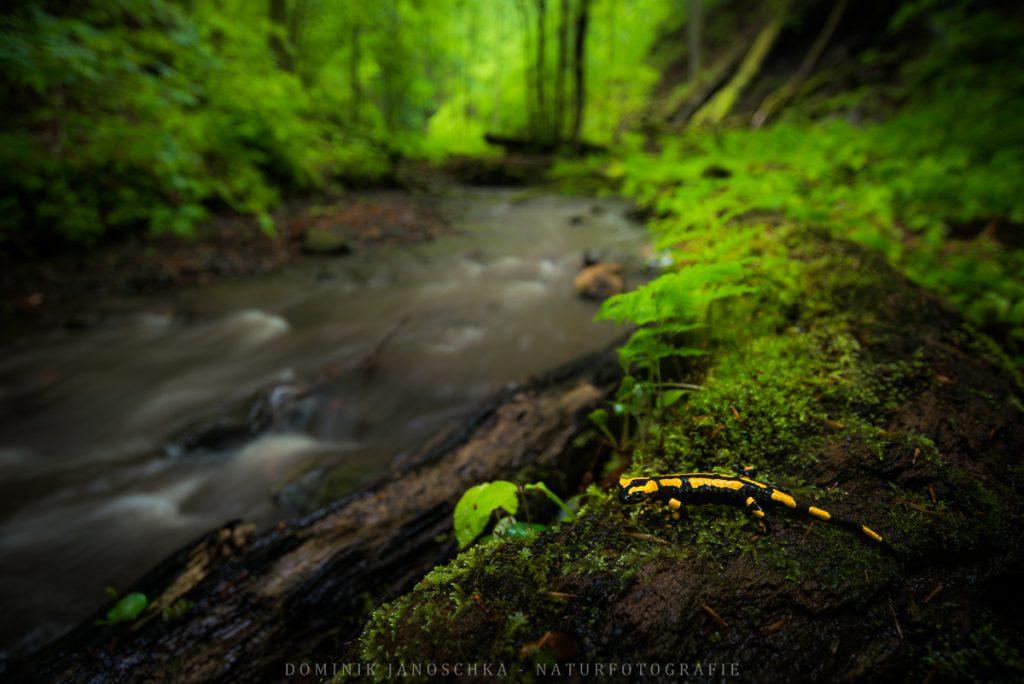Feuersalamander bei Regen mit dem Nikon AF-S 18-35mm 3.5-4.5