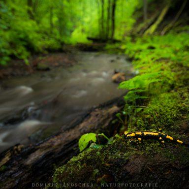 Feuersalamander bei Regen in seinem natürlichen Lebensrau / Nikon AF-S 18-35mm 3.5-4.5: 18 mm   f3.5   ISO100   0,5 s   Polfilter