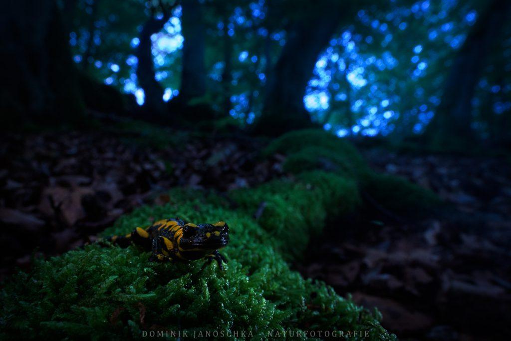 Feuersalamander bei Dämmerung mit dem Nikon AF-S 20mm f1.8