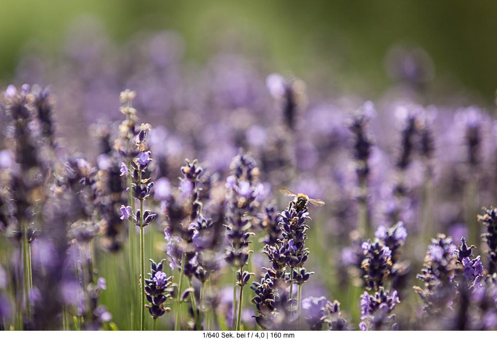 Blende und Tiefenschärfe Lavendel