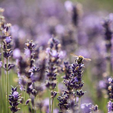 Blende und Tiefenschärfe Lavendel - Beitragsbild