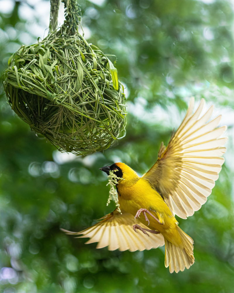 Maskenweber Nestbau