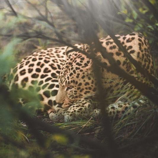 Leopard im Dickicht